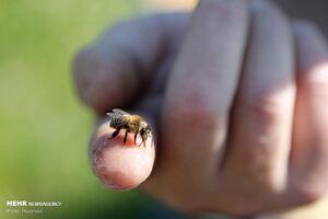 عکس/ زنبورداری برای کسب آرامش از دست رفته