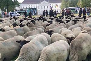 فیلم/ تجمع اعتراضی گوسفندان آلمانی