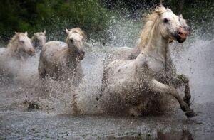 عکس/ عبور اسبهای وحشی از رودخانه