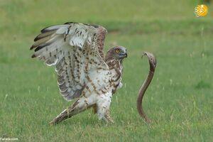 عکس/ نبرد مرگ و زندگی بین عقاب و مار کبری
