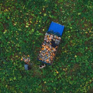تصویر هوایی دیدنی از برداشت کدو