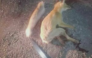 فیلم/ قاتل روباه دستگیر شد