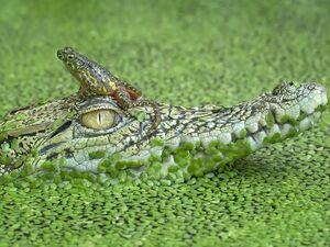 عکس/ سواری گرفتن قورباغه از تمساح