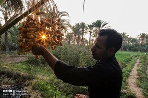 عکس/ برداشت خرما از نخلستانهای بافق یزد