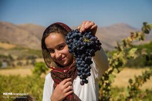 عکس/ روزهای برداشت انگور سیاه