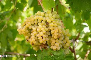 عکس/ برداشت انگور از باغات ارومیه