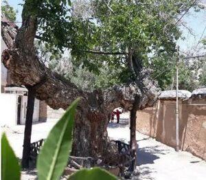 درخت گردوی 1300 ساله +عکس