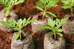 ساخت گلدانهای زیست تخریب پذیر با کاربری بیابان زدایی