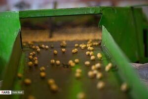 عکس/ پایتخت تولید «نخودچی» جهان