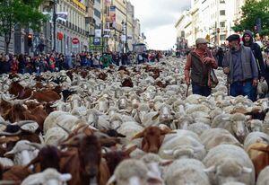 عکس/ گله گوسفندان در پایتخت