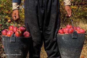 عکس/ برداشت میوه بهشتی در سمیرم