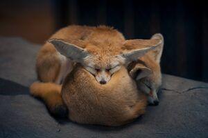 عکس/ خواب زیبای دو روباه