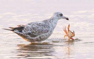 درگیری خرچنگ و مرغ دریایی