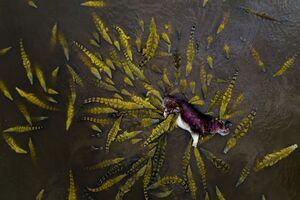 تصویر هوایی از حمله تمساحها به اسب آبی