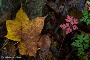عکس/ طبیعت پاییزی جنگل سیاه بیشه