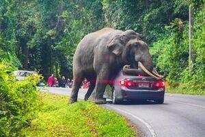 استراحت فیل بر روی یک خودرو