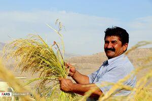 عکس/ برداشت محصول برنج از شالیزارهای ایذه