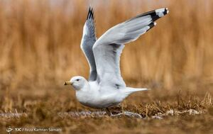 عکس/ ورود پرندگان مهاجر به تالاب گندمان