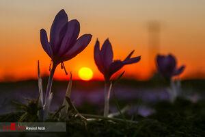 عکس/ برداشت گل زعفران در تربت حیدریه 