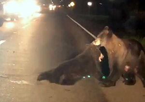 فیلم/ تلاش جالب خرس مادر برای نجات فرزندش