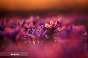 عکس/ برداشت زعفران را دیدهاید؟