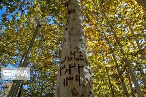 زخم یادگاری بر اندام درختان