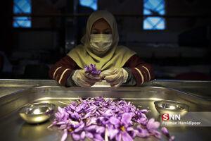 عکس/ بزرگترین تولیدکننده زعفران در جهان