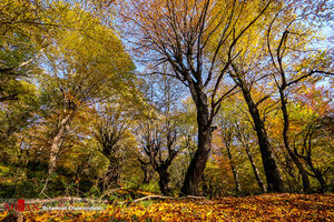 عکس/ پاییز در جنگل الیمستان