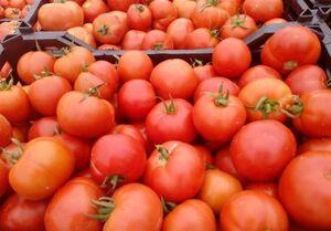 چرا گوجه گران شد؟