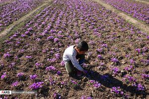 عکس/ روزهای پایانی «برداشت زعفران»
