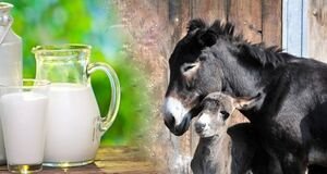 شیر الاغ چه خواصی دارد؟