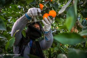 برداشت پرتقال در گلستان