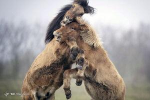 تصاویر دیدنی از اسبهای ایسلندی
