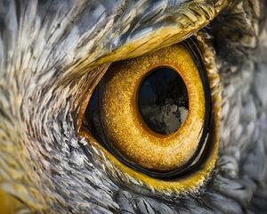 عکس/ چشم عقاب را از نزدیک ببینید