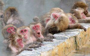 عکس/ میمونها در چشمه آبگرم