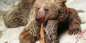 حکم تعجببرانگیز برای ضاربین خرس سوادکوهی