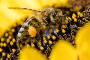 عکس/ نمای نزدیک از زنبور
