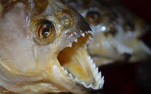 فیلم/ قدرت عجیب ماهیهای گوشتخوار!