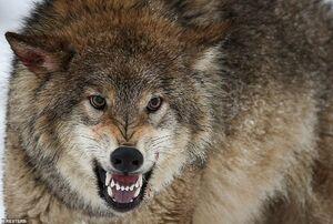 درگیری گرگ با دو سگ