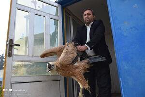 عکس/ رهاسازی کرکس در پناهگاه حیات وحش