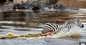 عکس/ حمله وحشتناک تمساح بیرحم به گورخر