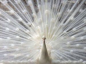عکس/ طاووس سفید رنگ