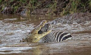 رویارویی گورخرها با تمساحهای گرسنه