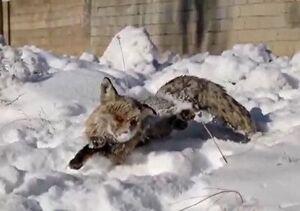 فیلم/ منجمد شدن روباه از سرمای شدید