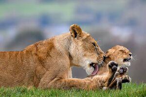 نوازش مادرانه