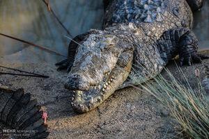 جزییاتی از مشاهده تمساح در دریاچه چیتگر