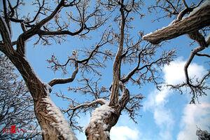 درختان یخ زده سنندج