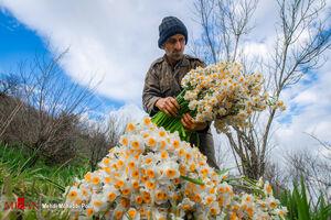 برداشت گل نرگس در مازندران
