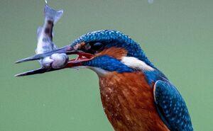 عکس/ لحظه شکار ماهی