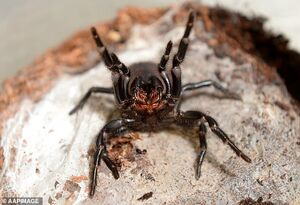 خطر تکثیرِ کشندهترین عنکبوت جهان +عکس